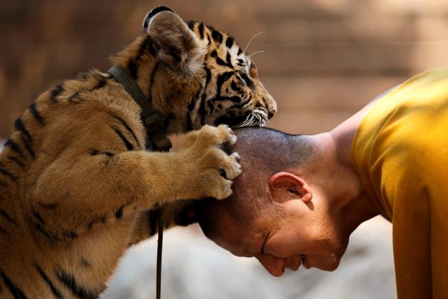 相較於野生老虎,目前全球人工豢養的老虎估計至少超過8000隻。圖為泰國老虎廟。 (路透資料照片)