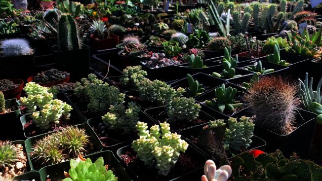 想要把多肉植物養得顏值高,夏季卻是關鍵。(記者李雪/攝影)