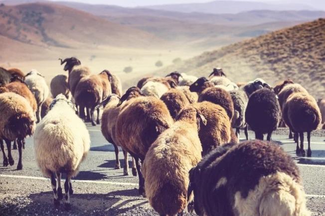 蒙古外交部7月31日宣布,待2019冠狀病毒疾病疫情趨緩,最快將於9月移交首批活羊給中國。示意圖,非當事新聞照片。(取材自Ingimage)