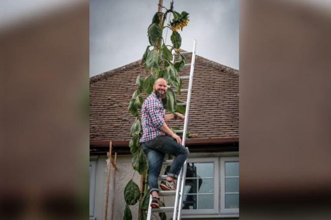 英國男子道格拉斯種出20英尺高的向日葵,比住家屋頂還高。擷自The Sun
