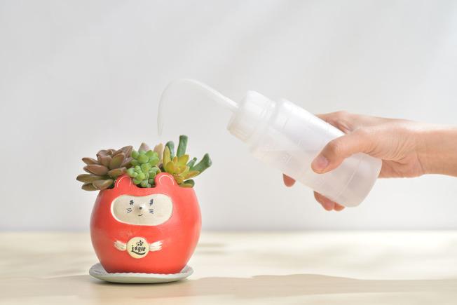 照顧多肉時,可多觀察植物表面,缺水才澆水。(圖/有肉Succulent & Gift提供)