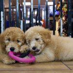 日本爆首兩例寵物狗驗出新冠陽性反應 目前已隔離治療
