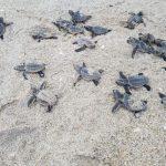 颶風後恐現海灘 佛州官員籲勿撿龜蛋