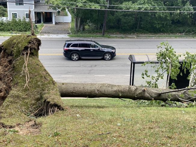 由於熱帶風暴,長島納蘇郡1000棵大樹被吹倒。(記者牟蘭/攝影)