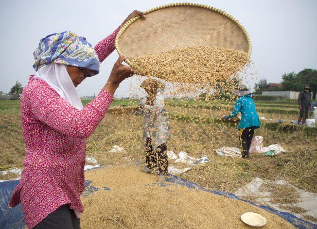 英國研究:稻米含低量砷 吃多恐增心血管疾病風險