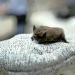 佛瑞斯科驚現狂犬病蝙蝠 籲寵物接種疫苗