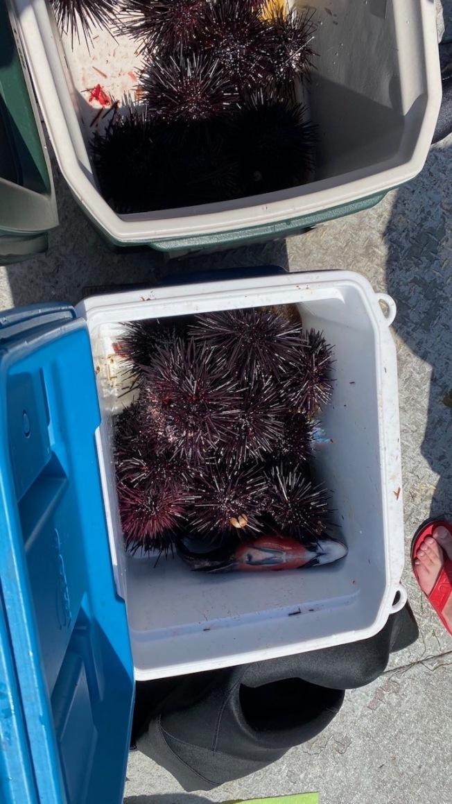 華人潛水同時抓海膽。(讀者提供)