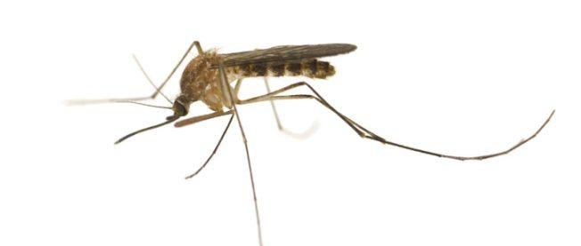 蚊子也來亂 橙縣孩童感染西尼羅病毒首例