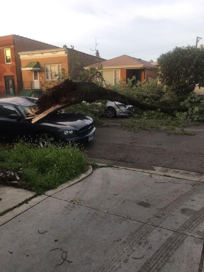 華人聚居的橋港區大樹遭強風吹倒壓垮路旁停放車輛。(鐘國提供)