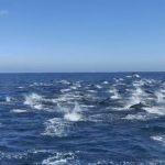 丹那岬賞鯨 逾300隻海豚驚逃