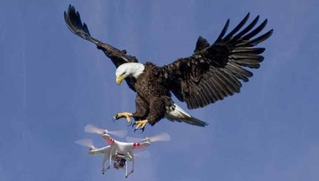 美國密西根州發生白頭海鵰攻擊官方無人機,不費吹灰之力就將無人機擊沉。圖非當事鳥。畫面翻攝:todaynewspost.com