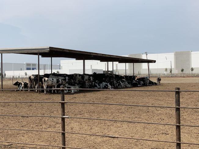 牛群在高溫下擠在牛棚下,不願出去忍受日曬。(記者啟鉻/攝影)