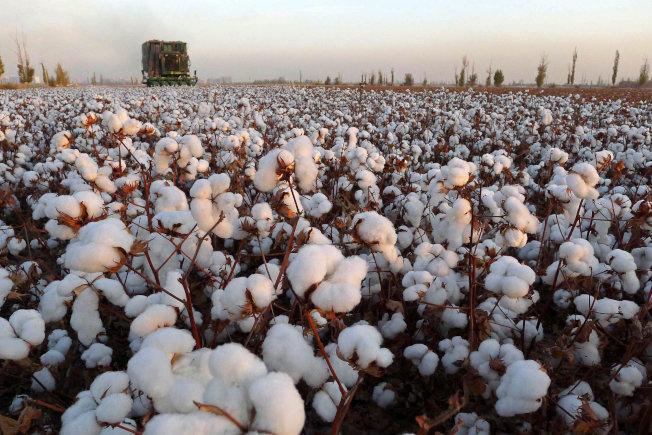 新彊維吾爾自治區內的哈密,一處棉花田正在收成。(路透)