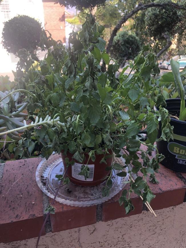 即便澆水,植物也被曬昏了。(小劉提供)